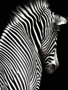 Zebra - black white Stripes go with everything because...they are everything!