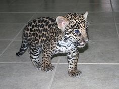 Baby Mexican Jaguar