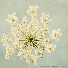 Flower Photography Queen Anne's Lace Floral by RockyTopPrintShop, $25.00  I LOVE this. Reminds me of Maine <3
