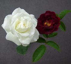 white rose and red
