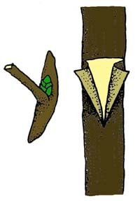 T or Shield Budding - one of the best grafts to use, has a high success rate even for beginners!