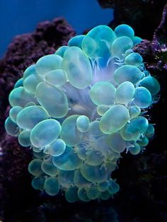 Bubble coral- This is actually coral, not a marine creature's eggs!