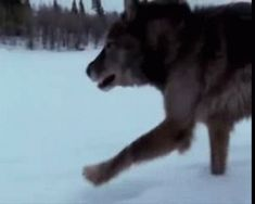 """WOLVES, posts tagged """"gif"""""""