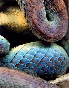 Photo by Daniel & Geo Fuchs ~ Asiatic Lance Head Snake Les Reptiles, Reptiles And Amphibians, Beautiful Creatures, Animals Beautiful, Cute Animals, Snake Scales, Reptile Scales, Reptile Room, Reptile Skin