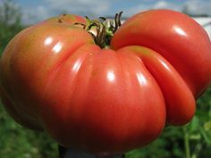Mortgage Lifter Tomato | The famous Mortgage Lifter and legendary tomato bred in the 1930's is an enormous, meaty tomato packed with flavor and few seeds. The fruit is slightly flattened and can reach weights from 1-4 lbs. each, which make it a perfect slicing tomato.