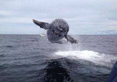 Incontro eccezionale ravvicinato con una balena nelle acque del Pacifico con tanto di volo a pelo d'acqua. Ogni anno all'inzio dell'inverno, le isole delle Hawaii sono testimoni della migrazione delle megattere. I cetacei arrivano fin qui in questo periodo dell'anno, per l'accoppiamento e la riprodu