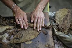 A worker rolls a cigar in a cigar factory in Esteli, during the III International Tobacco Festival. Cigars And Whiskey, Rum, Fields, Rolls, Anna, Food, Buns, Bread Rolls, Meals
