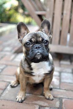 Sweet faced Reg. #frenchielove