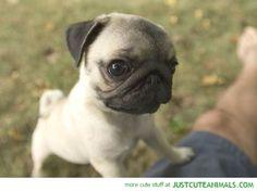 Cute Pug:-)