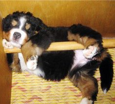 An entire room, including several comfy, soft beds in which to sleep, and this is where you decide to curl up? Bermese Mountain Dog, Mountain Dogs, Cute Puppies, Dogs And Puppies, Cute Dogs, Doggies, Burmese Mountain Dog Puppy, Cute Baby Animals, Animals And Pets