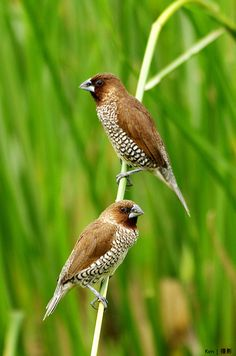 The 'Scaly-breasted Munia' or 'Spotted Munia' (Lonchura punctulata), known in the pet trade as 'Nutmeg Mannikin' or 'Spice Finch', is a sparrow-sized estrildid finch native to tropical Asia.