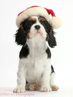 d650e848ba5 509 Best Cute Cavalier King Charles Spaniels images in 2019