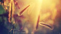 колоски трава - Пошук Google