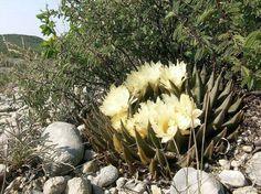 Ariocarpus_trigonus_Rancho-San-Antonio.jpg (711×533)