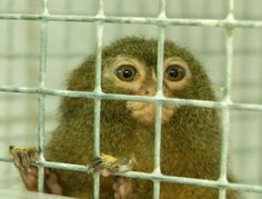 A pygmy marmoset, confiscated from a private owner in France, just after arrival at AAP Rescue Centre, checking out his quarantine unit and the photographer...
