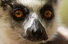 A ring-tailed lemur found on Madagascar