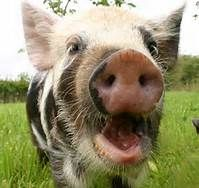 kune kune pigs - Bing Images