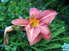 Taglilie, Blüte