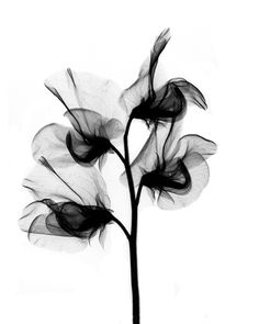 'X-ray sweet pea blossoms' by Bert Myers - Photography from United States