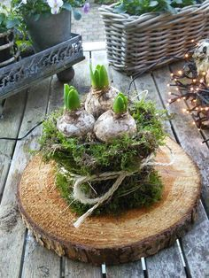 Hyacinten met een jasje.