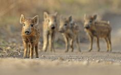 Wild boar (Sus scrofa) piglets, Forest of Dean, Gloucestershire. Photographer Andy Rouse