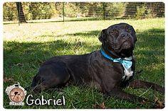 sugar land, TX - Bullmastiff/Terrier (Unknown Type, Medium) Mix. Meet A -Gabriel, a dog for adoption. http://www.adoptapet.com/pet/15292108-sugar-land-texas-bullmastiff-mix
