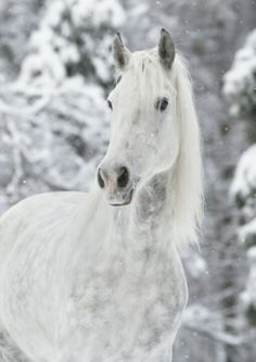 White Horse in Snow ♥ Horses In Snow, White Horses, Most Beautiful Horses, All The Pretty Horses, Beautiful Creatures, Animals Beautiful, Cute Animals, Majestic Horse, Majestic Animals