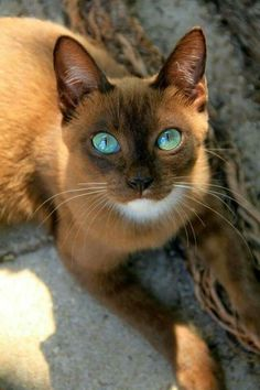 #CoolCatTreeHouse World's Most Beautiful, Beautiful Cats, Gorgeous Eyes, Benadryl For Cats, Third Eye, Cat Breeds, Funny Cats, Pets, Animals