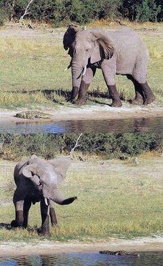 Africa Elephant, Africa, Animals, Animales, Animaux, Animal, Elephants, Animais, Afro