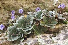 ΘΕΡΑΠΕΥΤΗΣ: To λουλούδι του Ολύμπου, που δεν φυτρώνει πουθενά αλλού στον κόσμο!