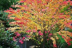 99 Ideas De Arces Japoneses En 2021 Arce Japones Jardin Japones Jardines