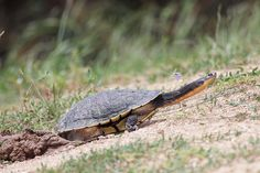 Long-necked Turtle (by 0ystercatcher)
