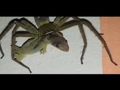 Giant Spider eating a lizard alive