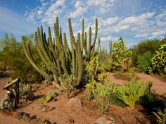 Five themed trails tie the Desert Botanical Garden together. Walking the Desert Discovery Loop Trail lets visitors observe the diversity of texture, color and form of the world's desert plants.
