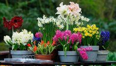 Kwiaty cebulowe, które sadzimy wiosną