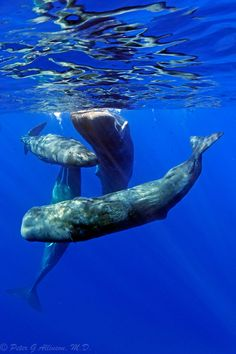 Awesome Sperm whales (by Critidoc)