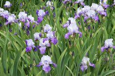 In Violett-Tönen blühende Bart-Iris