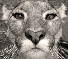 cougar (by fluffie-bunnie, via Flickr)