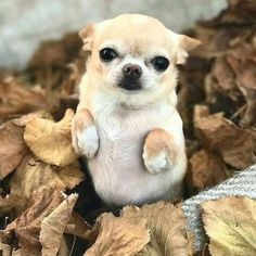 Chihuahua dogs are part of the toy dog breed, bringing a lot of energy in a tiny package. Find out more about the Chiwawa dog here. Chihuahua Puppies, Cute Dogs And Puppies, Pet Dogs, Doggies, Cute Funny Animals, Cute Baby Animals, Funny Dogs, Beautiful Dogs, Animals Beautiful