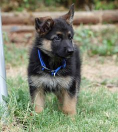 This fluffball who�s ready to play! (And look at that collar, OMG.) | 18 German Shepherd Puppies Who Need To Be Snuggled Immediately