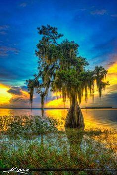 The Cypress Tree At Lake Istokpoga in Lake Placid,Florida.