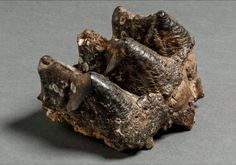 "The Ice Age on Twitter: ""A mastodon molar from New York State, USA. Mastodon means ""nipple tooth"" - Georges Cuvier named the genus in 1817"""