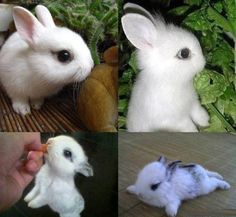 Netherland dwarf rabbit- smallest breed. Only 1.2kg