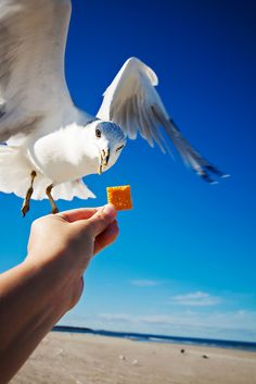 remembering the ferry ride to Mackinac Island when we had this very same cracker and the gulls followed us all the way across the straits... and took the crackers from our hands... Becky and Danny were so excited.    Summer1996?