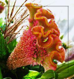 Celosía cristata. La encontramos en mucho colores vibrantes como rosa fucsia, naranja, rojo y púrpura, así como en tonos más pálidos como rosa o verde. De abril a octubre.