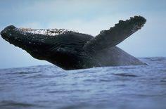 Вам никогда не казалось, что киты очень грустные?