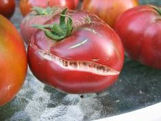 @Danielle, here is info on the splitting tomatoes - think stretch marks  http://greensideupblog.com