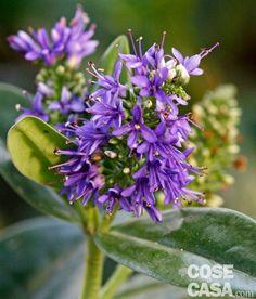 Un cespuglio sempreverde resistente e fiorifero: Hebe speciosa – Veronica Hebe http://www.cosedicasa.com/casa-in-fiore/