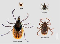 With summer around the corner, it's time to start thinking about Lyme disease, a potentially fatal condition carried by ticks. Learn about the causes, symptoms, and treatment options for Lyme disease. Tick Fever, Brown Dog Tick, Lyme Disease Tick, Liver Fluke, Rocky Mountain Spotted Fever, Deer Ticks, High Risk