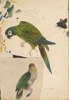 the parrots of ocean parkway are back…  manuallabours:    (via BibliOdyssey: Lear's Parrots - The Prequel)